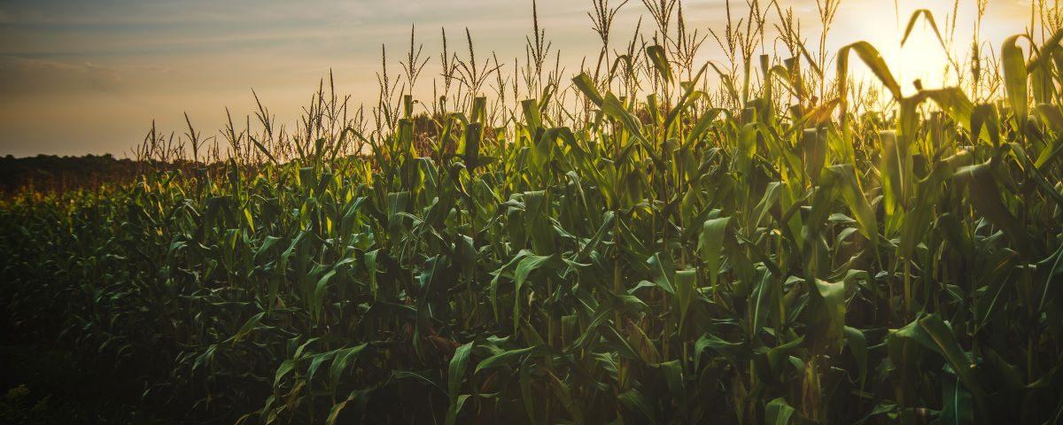 Kim jest śrubiarz niszczący kombajny do kukurydzy